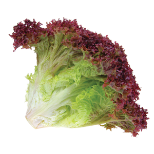 Wholesale Organic Lettuce Supplier