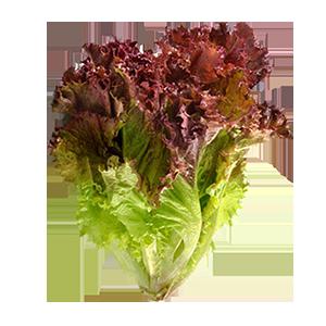 Bulk Lettuce Supplier - Greenworld