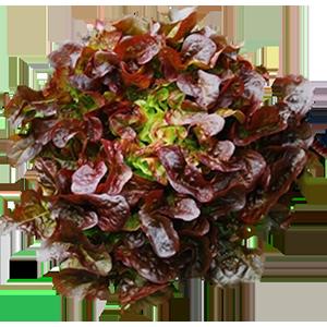 Bulk Organic Lettuce Supplier